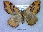 Coryphista meadii