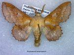 Phyllodesma americanum