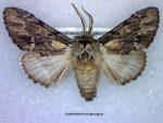 Hyperaeschra georgica