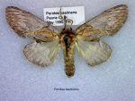 Peridea basitriens
