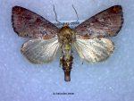 Achatodes zeae