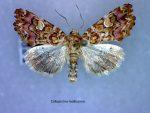 Callopistria mollissima