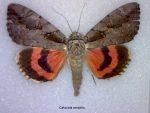 Catocala amatrix