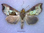 Diachrysia balluca