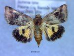 Schinia lynx