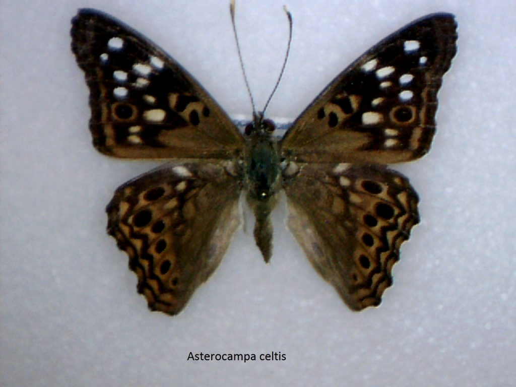 Asterocampa celtis