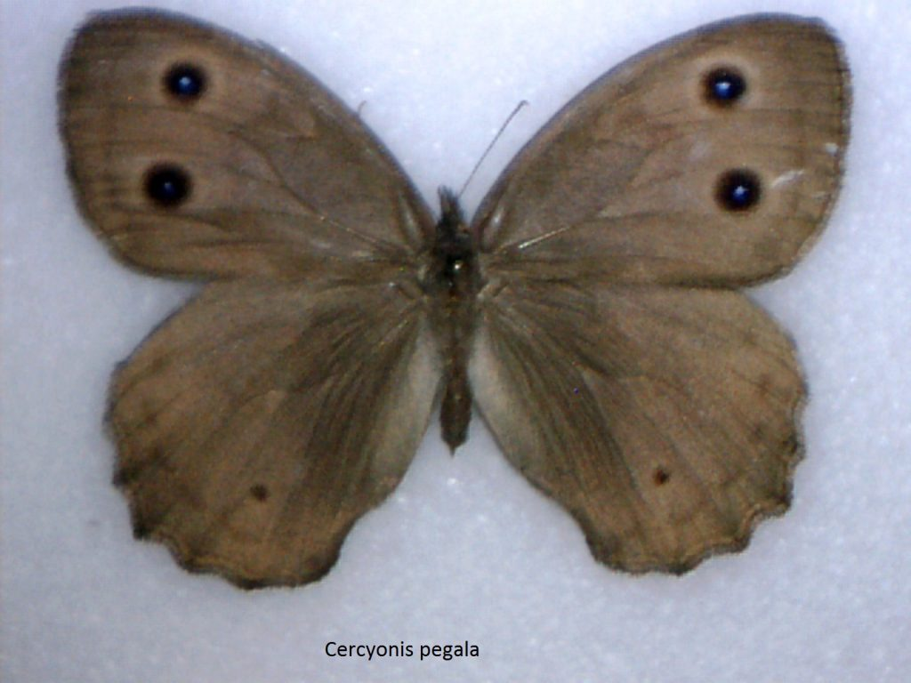 Cercyonis pegala