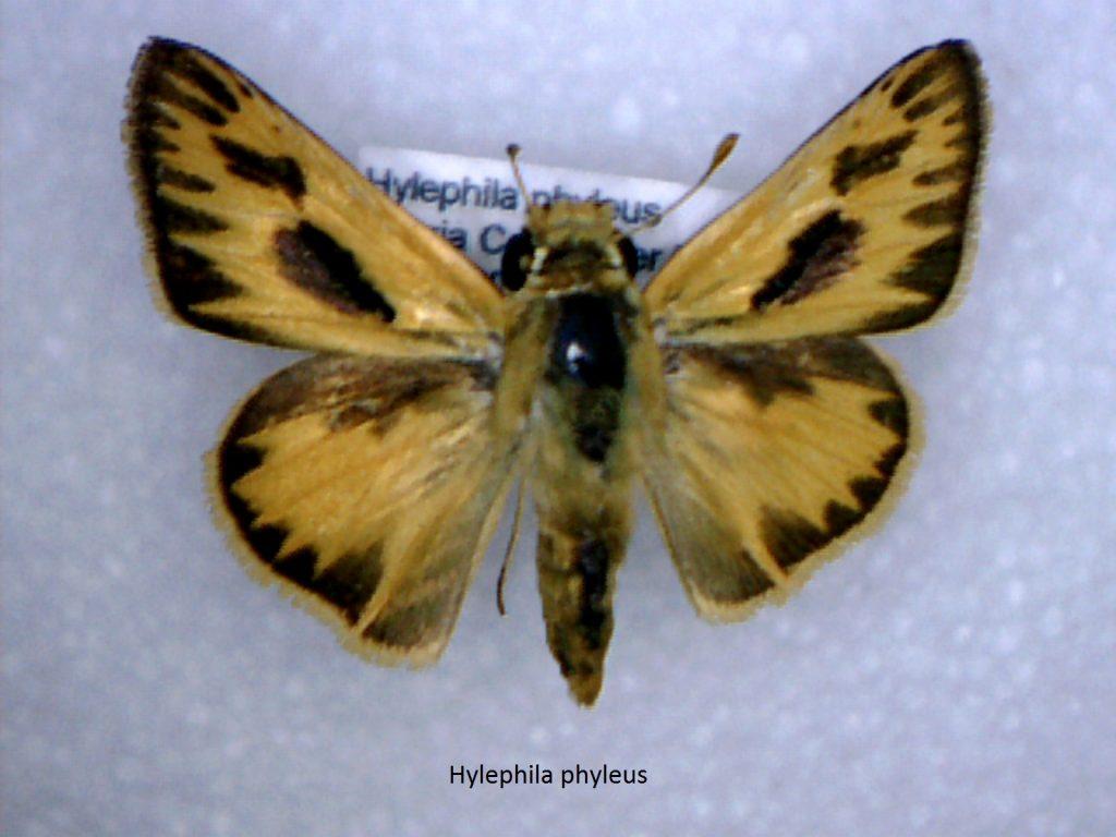 Hylephila phylus