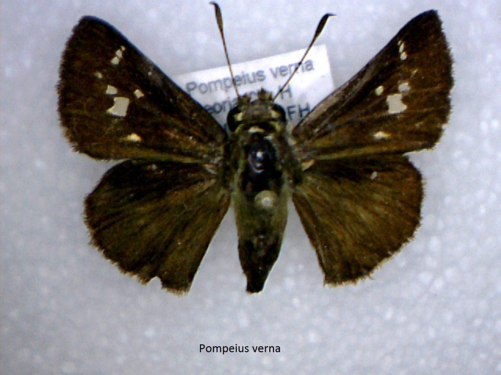 Pompeius verna