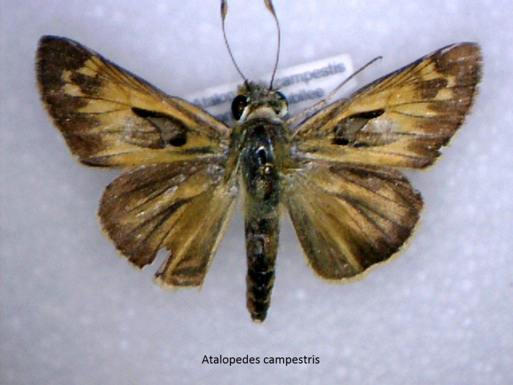 Atalopedes campestis