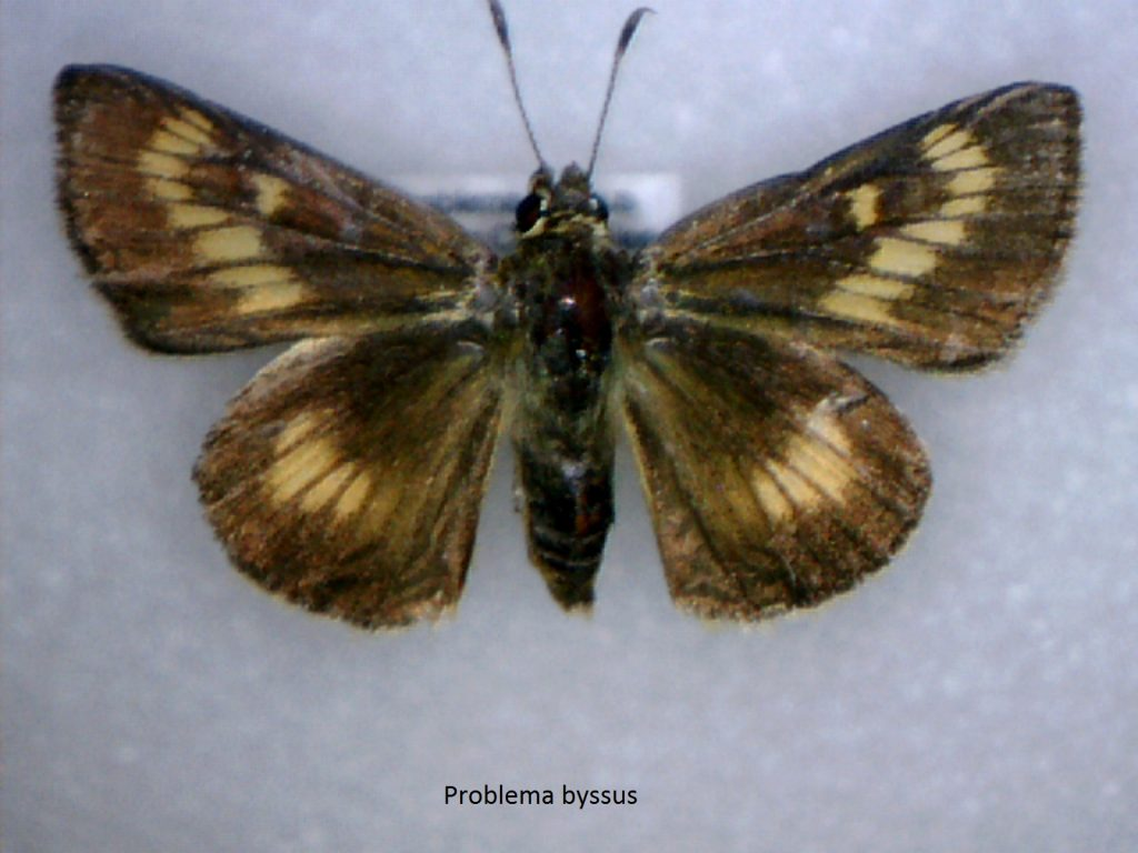 Problema byssus