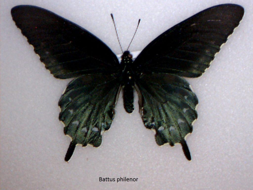 Battus philenor