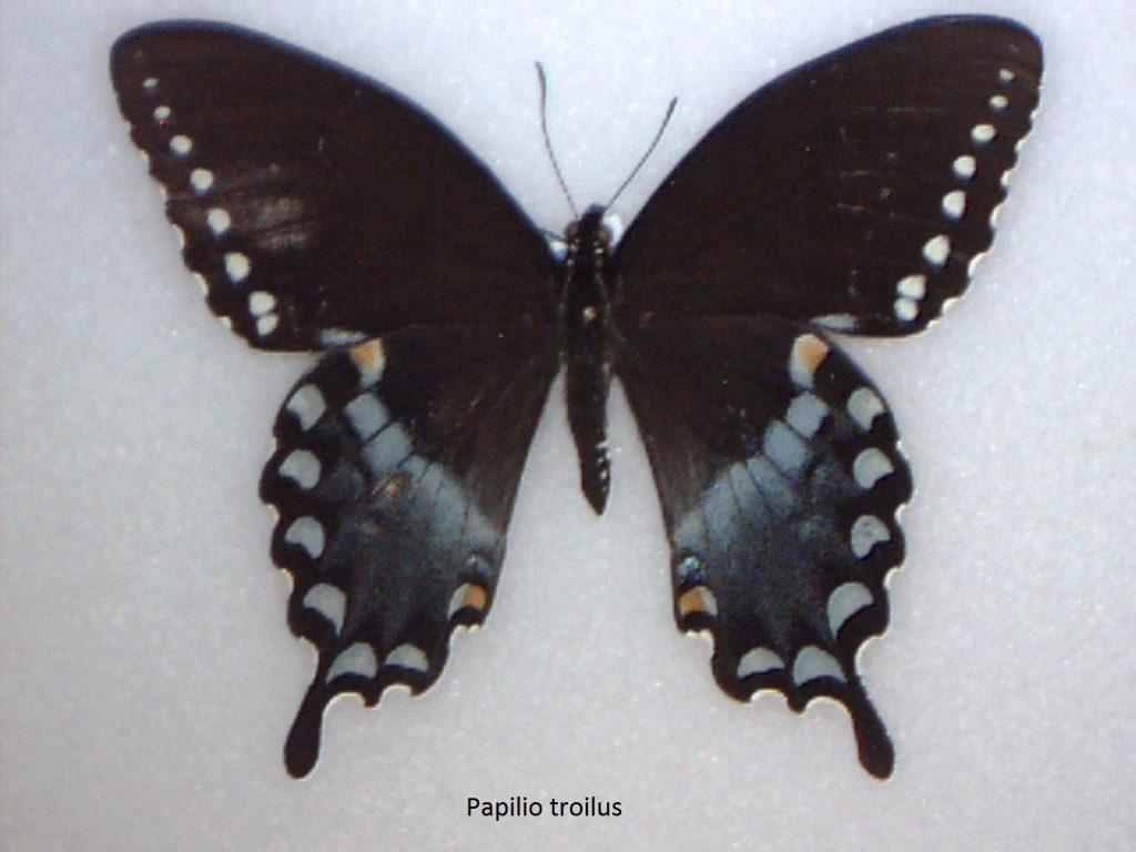 Papilio troilus
