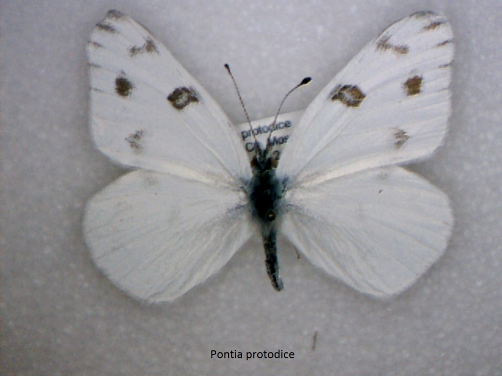 Pontia protodice