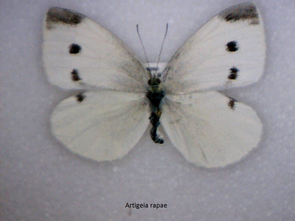 Artigeia rapae