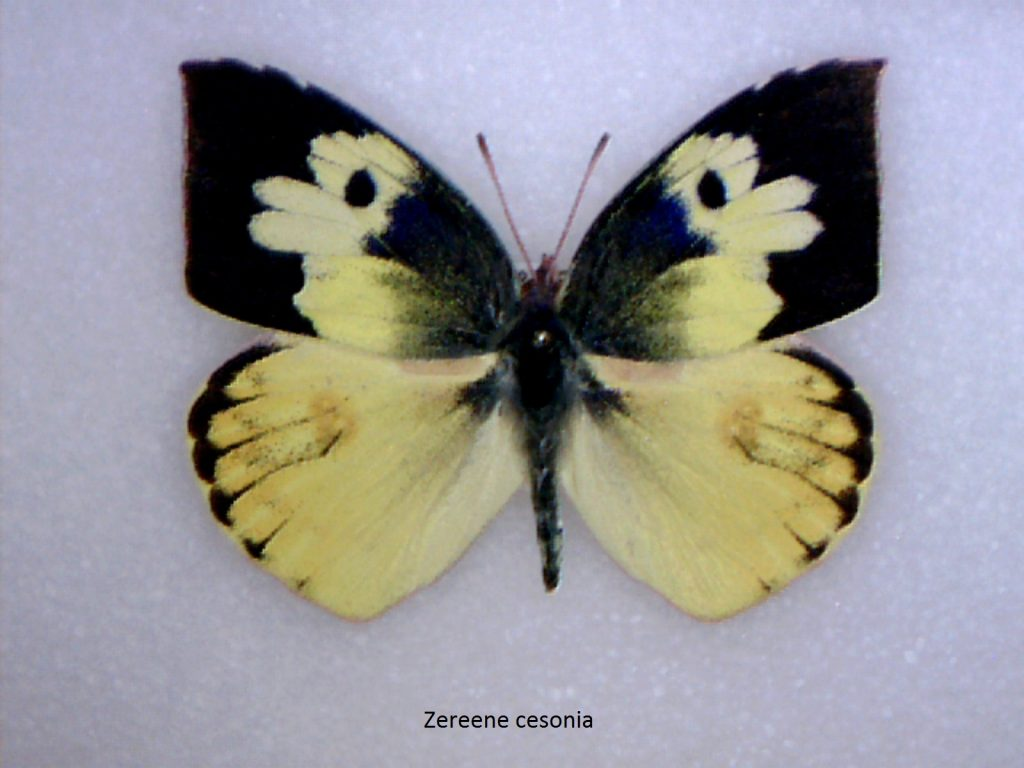 Zereene cesonia