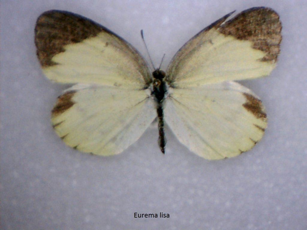 Eurema lisa
