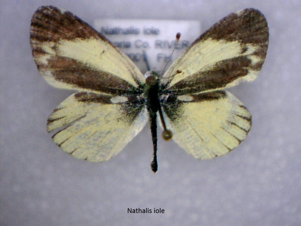 Nathalis iole