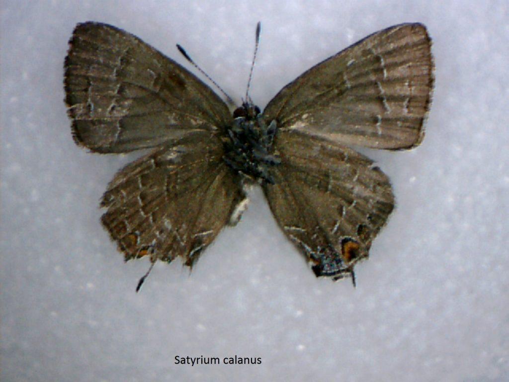 Satyrium calanus