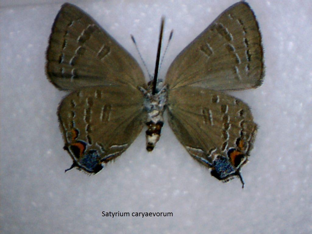 Satyrium caryaevorum
