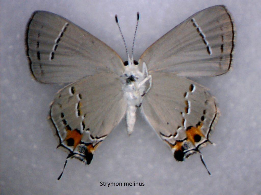 Strymon melinus