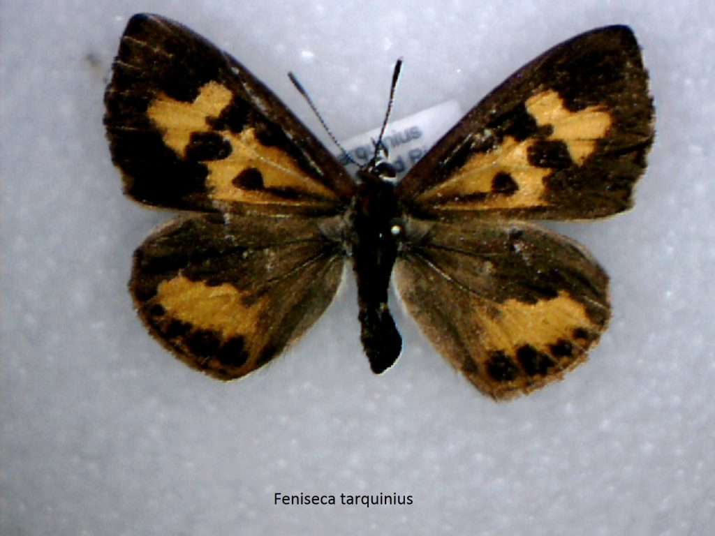 Feniseca tarquinis