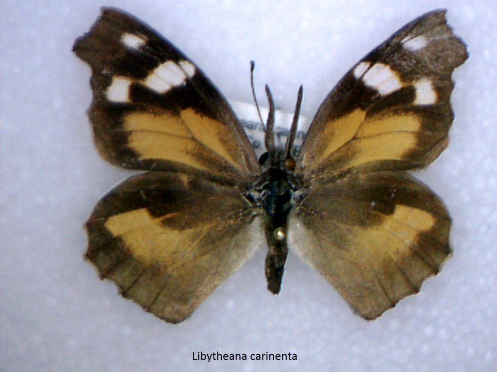 Libytheana carinenta