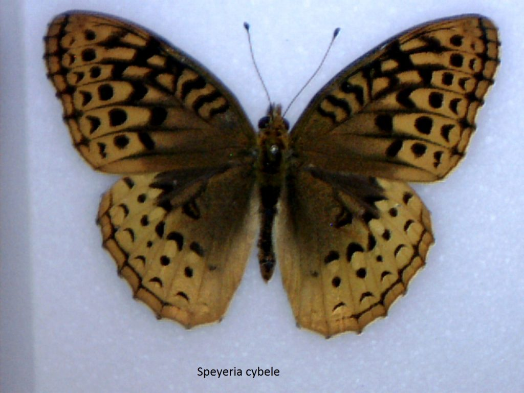 Speyeria cybele