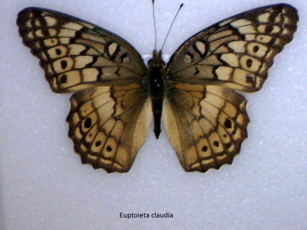 Euptoieta claudia