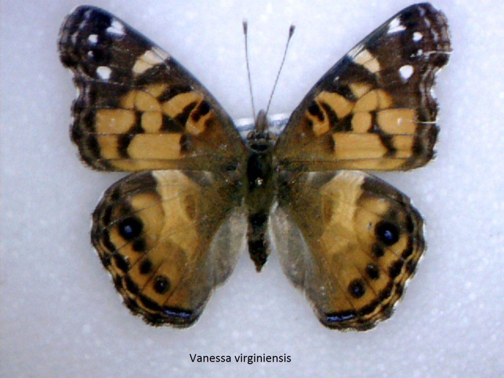Vanessa virginiensis