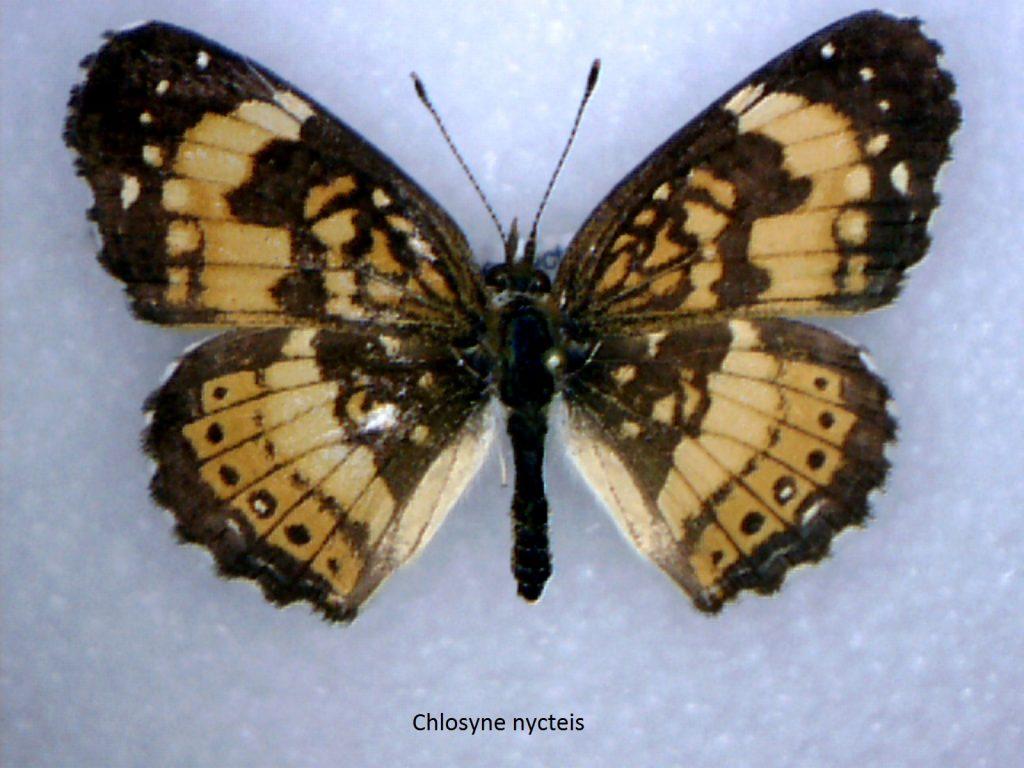 Chlosyne nycteis