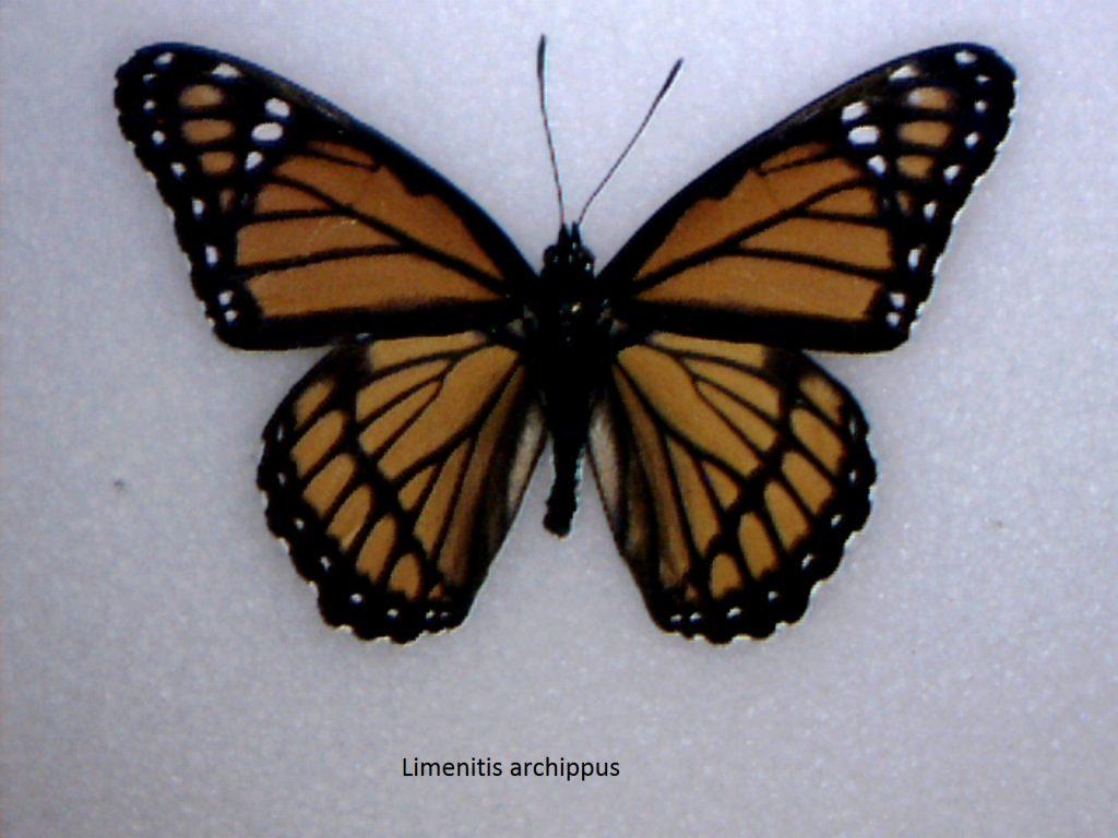 Limenitis archippus