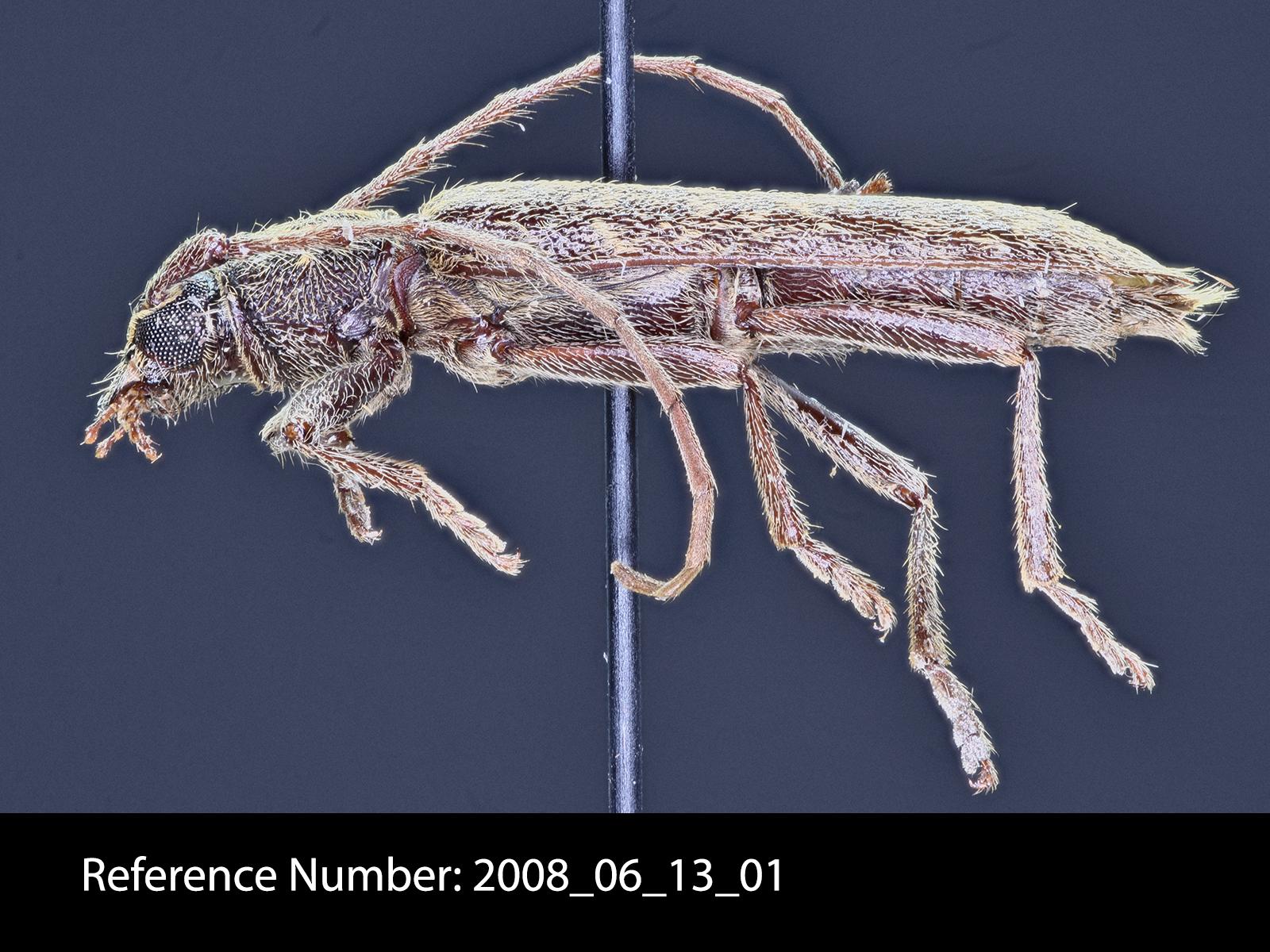 Anelaphus villosus lateral view