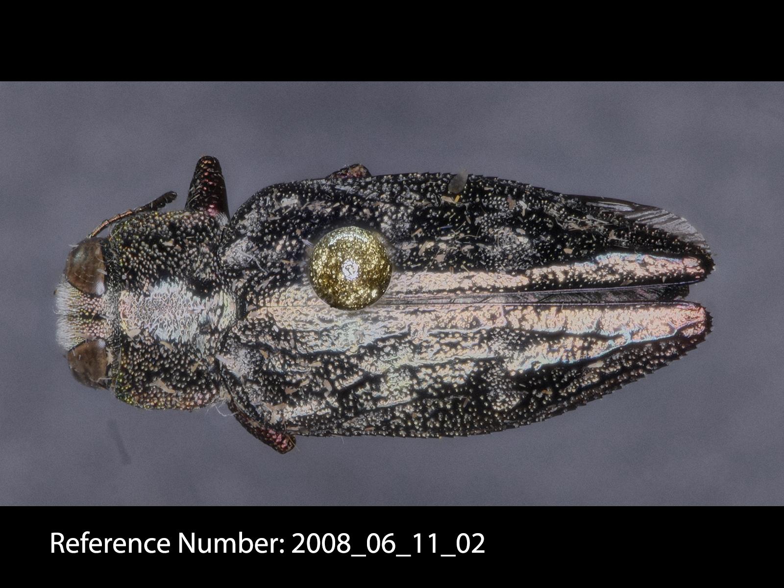 Chrysobothris femorata dorsal view