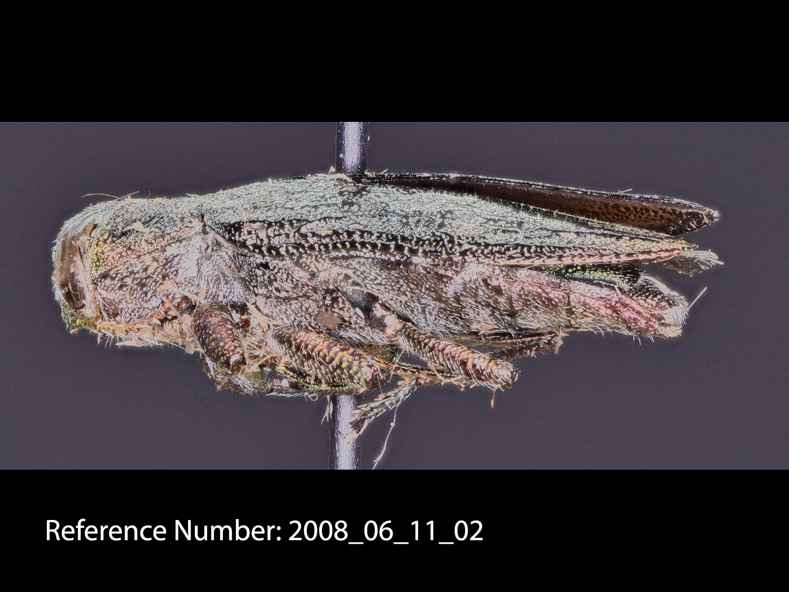 Chrysobothris femorata lateral view