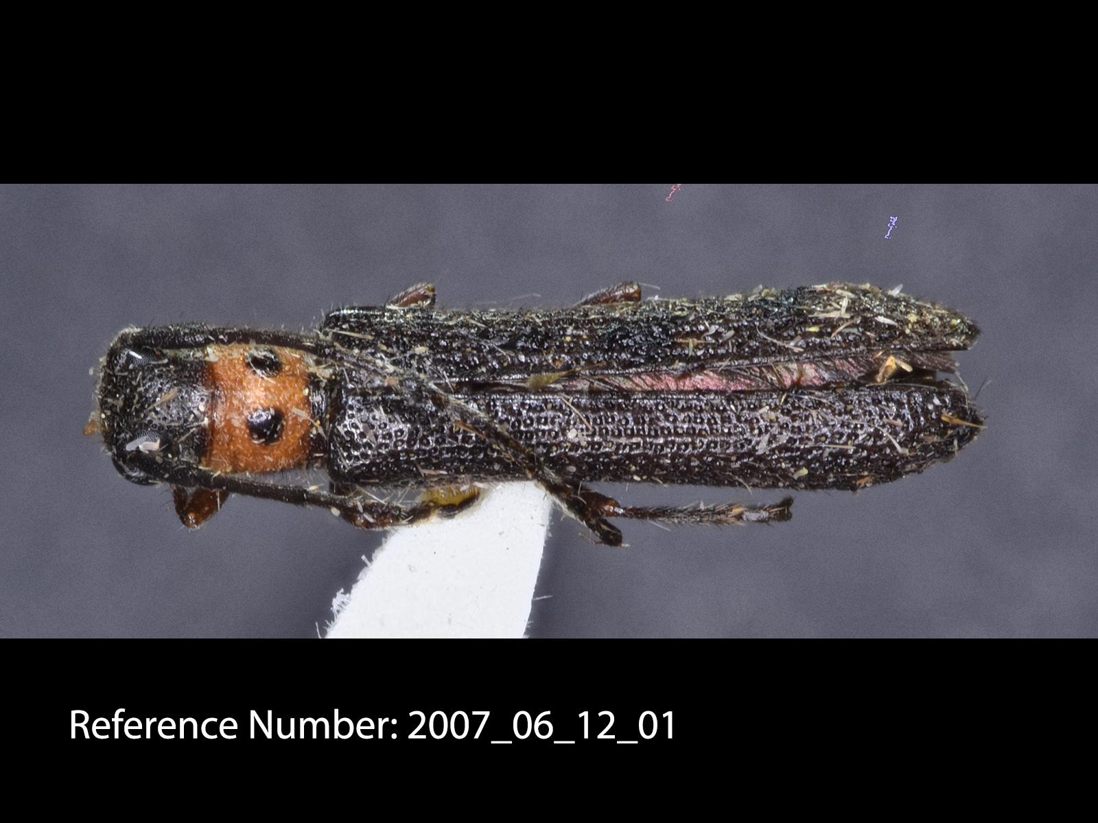 Oberea pruinosa dorsal view