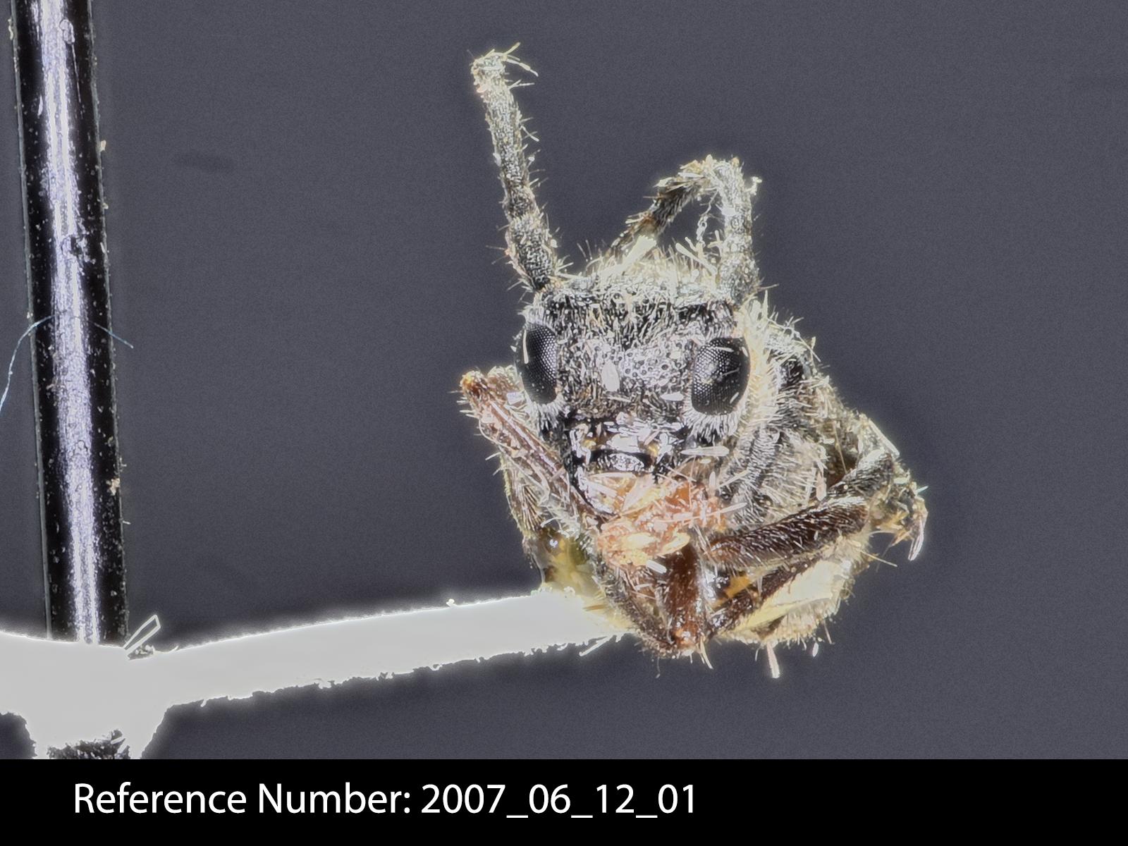 Oberea pruinosa frontal view