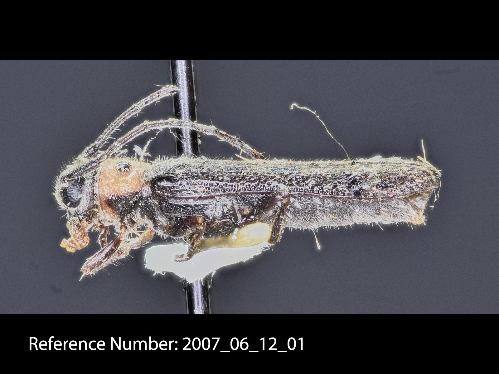 Oberea pruinosa lateral view