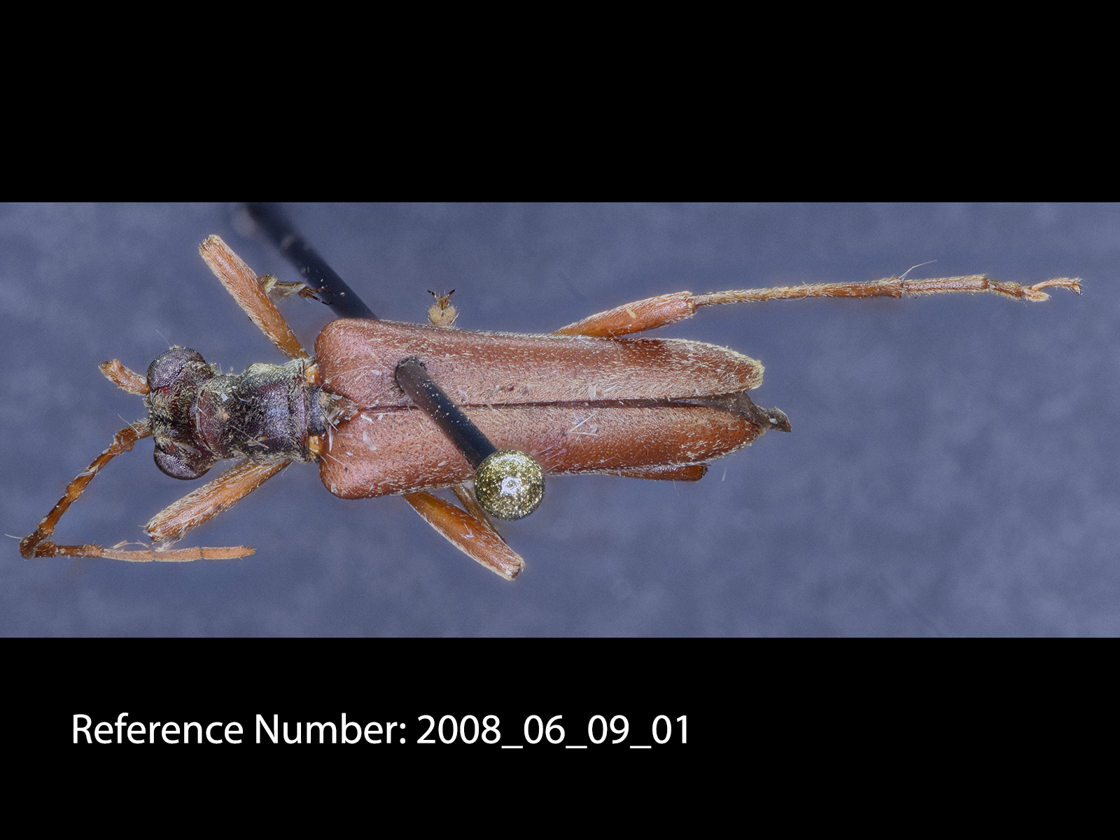Stenocorus cinnamopterus dorsal view