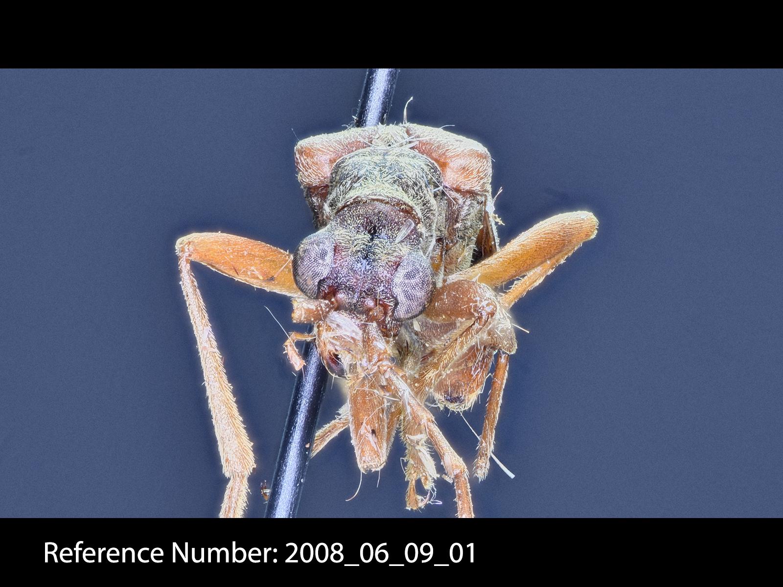 Stenocorus cinnamopterus frontal view